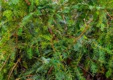 Coniferous иглы зеленого цвета yew завода выходят предпосылка естественный Стоковые Фото
