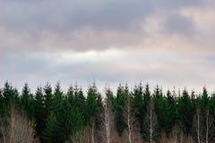 Coniferous и чуть-чуть лиственные деревья против облаков утра Стоковая Фотография
