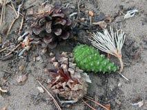 Coniferous конус сосны на том основании Стоковое Фото