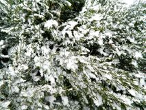 Coniferous кустарник с разнообразие замороженными ветвями и снегом Стоковые Изображения RF