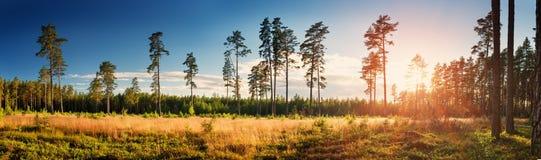Coniferous лес при солнце утра светя стоковые изображения