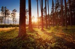 Coniferous лес при солнце утра светя стоковые изображения rf