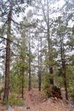 Coniferous лес рано утром Стоковая Фотография RF