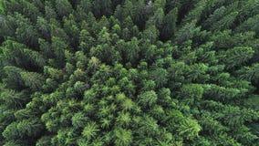 Coniferous лес Стоковая Фотография RF