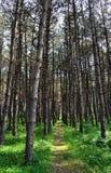 coniferous путь пущи Стоковые Фото