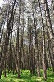coniferous пуща Стоковые Изображения RF