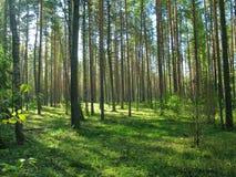 coniferous пуща Стоковые Фото