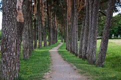 coniferous древесина Украины путя пущи восточной европы Переулок высоких деревьев Стоковое Изображение