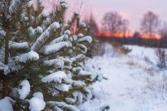 Coniferous рождественские елки в лесе покрытом с пушистым снегом на предпосылке леса захода солнца снежной Стоковые Изображения RF