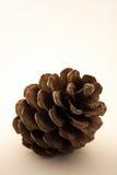 coniferous сосенка Стоковое Изображение
