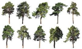 Coniferous сосна леса, спрус, ель Комплект изолированных деревьев на w Стоковая Фотография RF