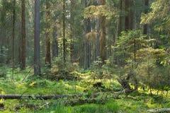 Coniferous стойка леса Bialowieza в заходе солнца стоковое фото rf