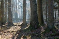 Coniferous стойка леса Bialowieza в утре стоковая фотография