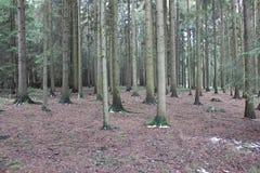 Coniferous хоботы лесного дерева Стоковое фото RF