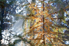 Coniferous лес в осени Стоковые Изображения