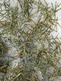 coniferous Стоковое Фото