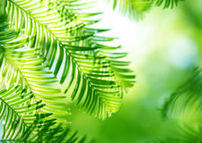 Coniferous background. Fir branches in the sunlight in a forest Stock Photo