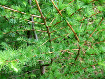 Coniferous background Stock Image