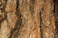 Coniferous bark detail Royalty Free Stock Photography