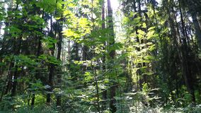 Coniferous and birch forest stock video