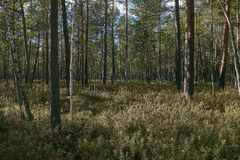 Coniferous bog forest in autumn royalty free stock photography