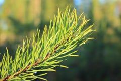 Coniferous branch. Royalty Free Stock Photos