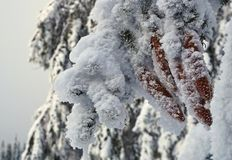 Coniferous branch with cones covered by frost and snow stock photo