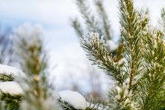 Coniferous branch covered in tiny snowflake close-up royalty free stock images