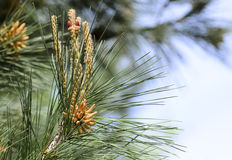 Coniferous branch Stock Image
