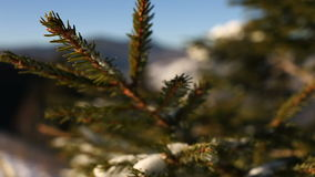 Coniferous branch under snow with sun light. Shot of coniferous branch under snow with sun light stock footage