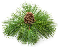 Coniferous Branch With Cone Royalty Free Stock Images
