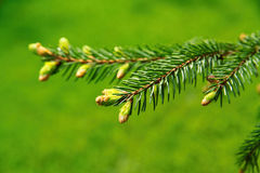 Coniferous branch. With young shoots Royalty Free Stock Image