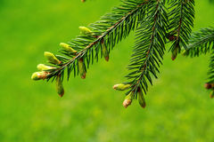 Coniferous branch Royalty Free Stock Photo