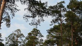 High pines drift green branches in the wind. Coniferous branches against the blue sky are moving by the wind stock footage
