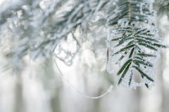 Coniferous branches Stock Photography