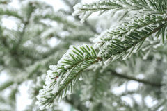 Coniferous branches Royalty Free Stock Image