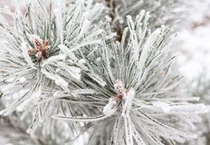 Coniferous branches covered with hoarfrost. Close up Royalty Free Stock Photo