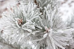 Coniferous branches covered with hoarfrost Stock Images