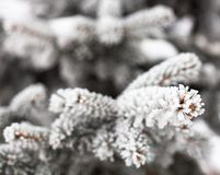 Coniferous branches covered with hoarfrost Royalty Free Stock Image