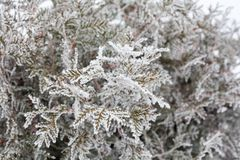 Coniferous branches covered with hoarfrost Royalty Free Stock Photo