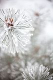 Coniferous branches covered with hoarfrost Royalty Free Stock Photos