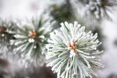 Coniferous branches covered with hoarfrost. Close up Royalty Free Stock Image
