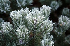 Coniferous branches covered with hoarfrost. Royalty Free Stock Photo