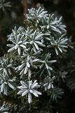 Coniferous branches covered with hoarfrost. Stock Image
