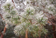 Coniferous branches covered with hoarfrost. Royalty Free Stock Images