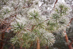 Coniferous branches covered with hoarfrost. Royalty Free Stock Image