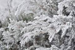 Coniferous branches covered with hoarfrost. Stock Photography