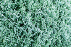 Coniferous branches covered with hoarfrost. Coniferous (Thuja) branches covered with hoarfrost, natural background Stock Image