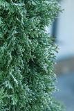 Coniferous branches covered with hoarfrost. Coniferous (Thuja) branches covered with hoarfrost, natural background Royalty Free Stock Images