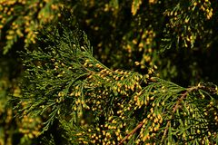 Coniferous branches of Incense cedar Calocedrus decurrens with small yellow cones visible, clear blue skies background. Natural afternoon sunshine royalty free stock photos